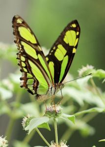 Malachite - Brookside Gardens, Wings of Fancy Exhibit